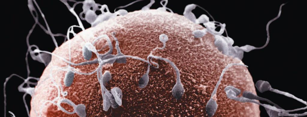 яйцеклетка_и_сперматозоиды_2