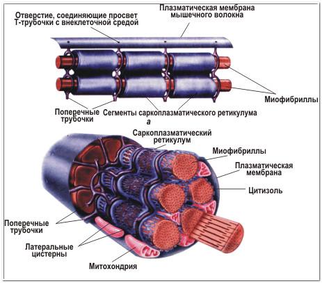 миофибриллы