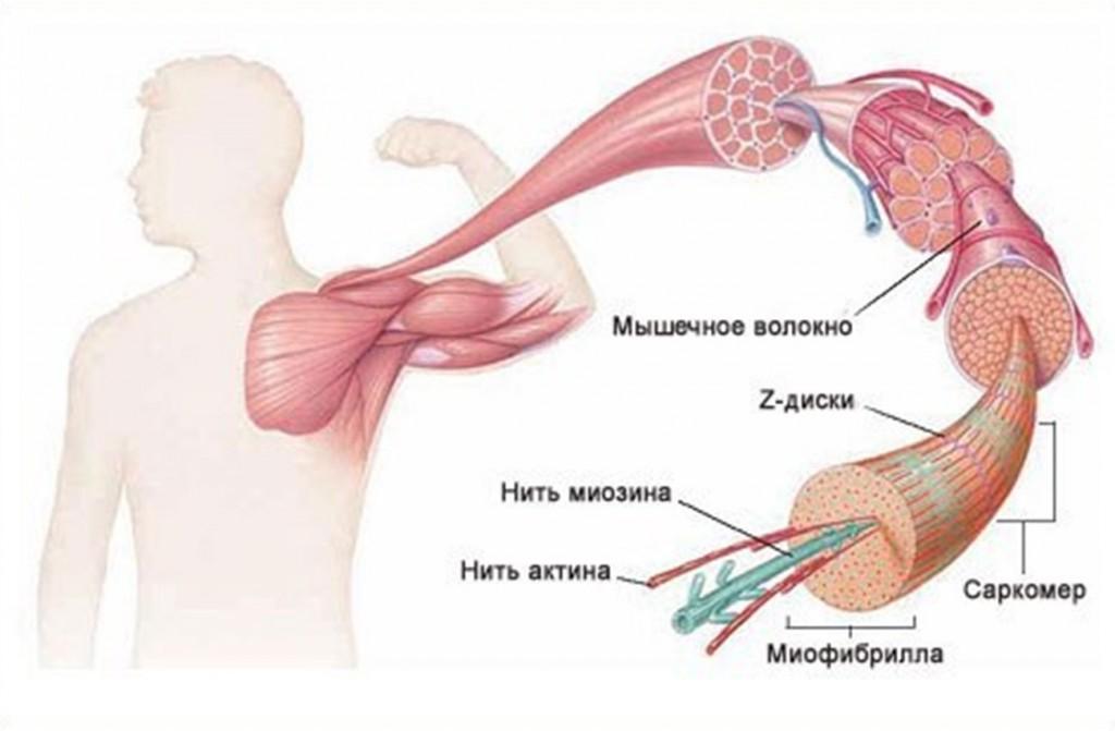 мышцы внутри