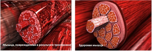 muscle-fiber-damaged-vs-healthy2