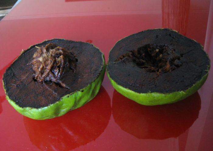 Черная сапота (плодовое дерево типа Хурма, Black Sapote)