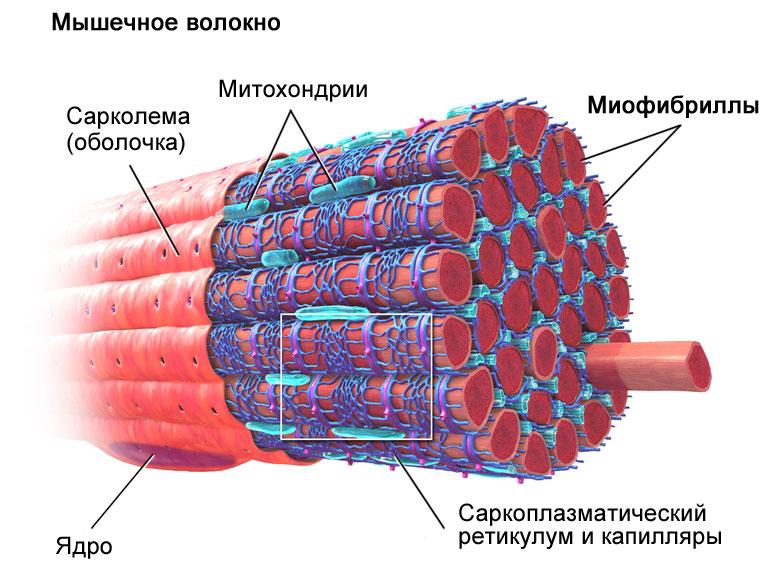 мышца1