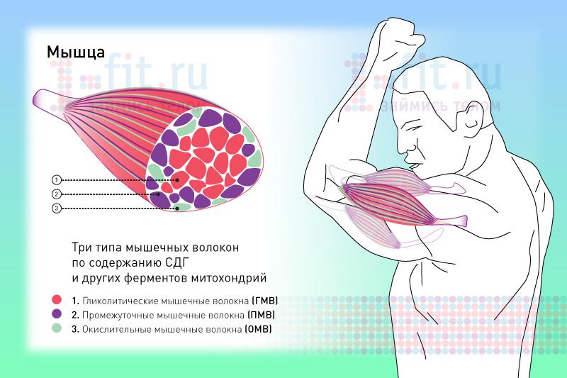 мышца2