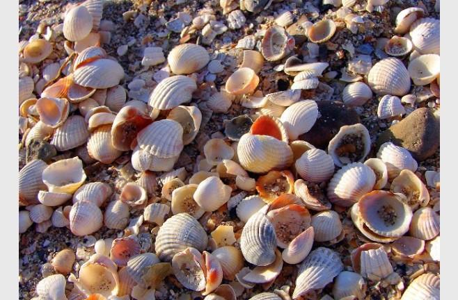 Вместо песка на пляжах Ейска - вот такие мелкие ракушки. Ходить по ним не больно.