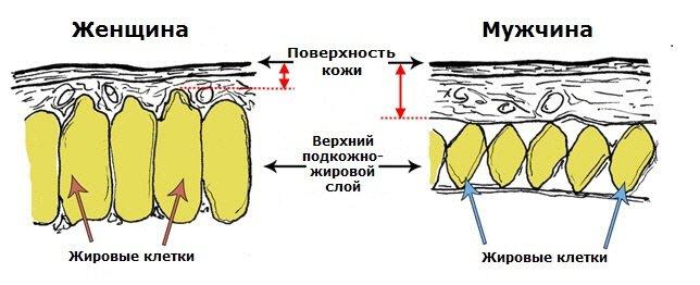 Строение женских и мужских жировых клеток - разное