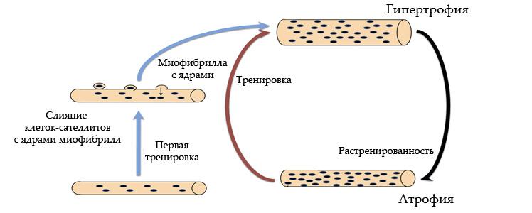 Клетки-сателлиты