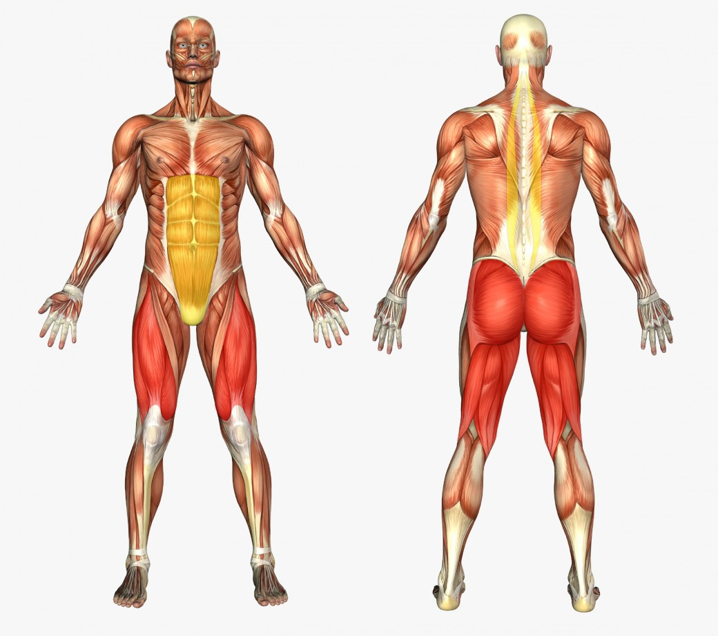 Male upper body anatomy