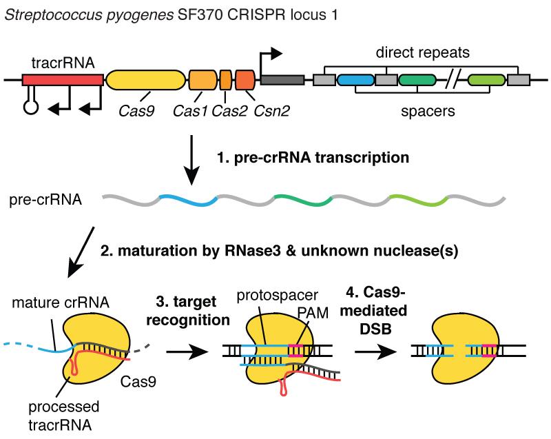 crispr_processing1