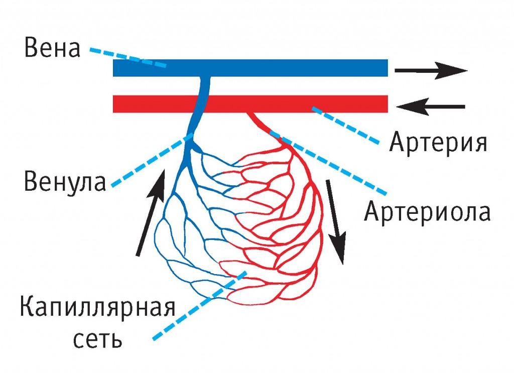 ссс строение и функции сосудов_1