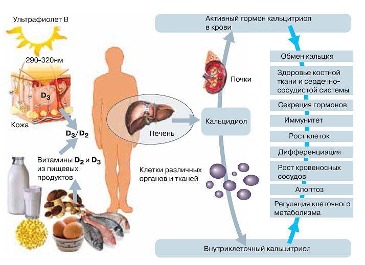 Витамины D (D2 и D3 ) поступают в наш организм с пищей и синтезируются в коже под влиянием ультрафиолета. Но сами по себе эти вещества биологически неактивны. Им предстоят два этапа превращений, в результате которых получается активный гормон — кальцитриол. Он-то и начинает действовать на клетки, органы и ткани