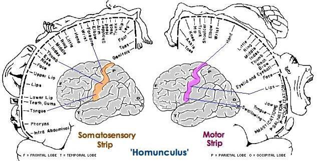 схема тела человека, отраженная в коре головного мозга
