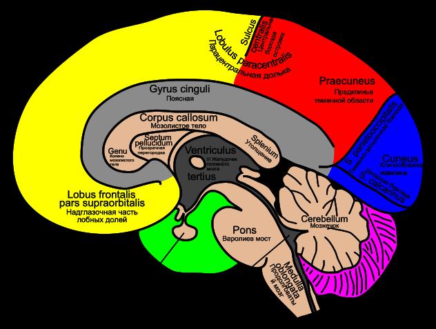 мозг человека зожник
