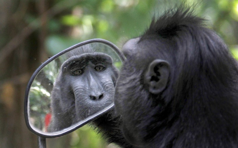 7_CATERS_VAIN_MIRROR_MACAQUE_05-800x498