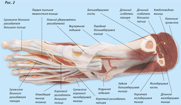 anatomiya_i_fiziologiya_stopi_03