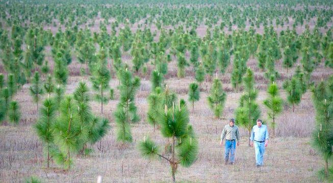 Леса, которые посадил один из крупнейших владельцев Земли в США M.C.Davis.