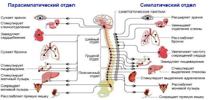 Вариативность сердечного ритма. Нервная система