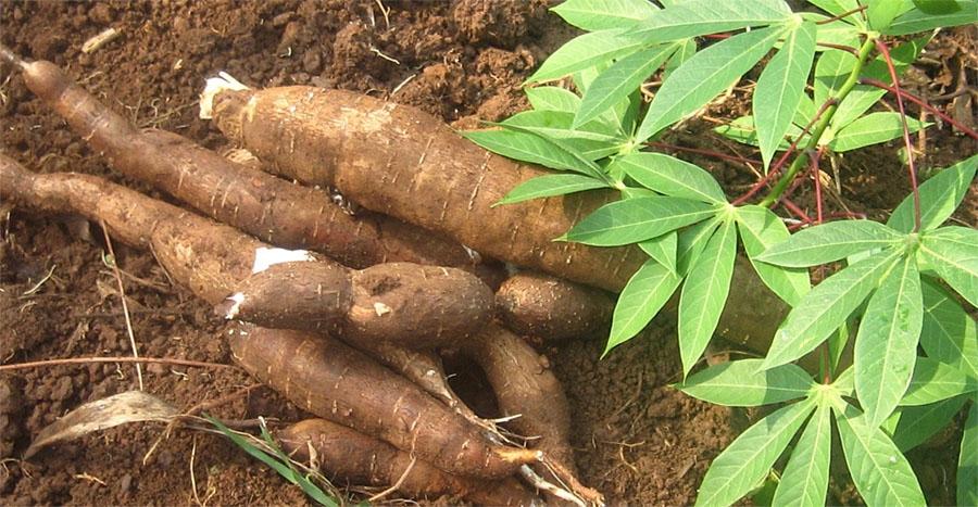Cassava-maniok