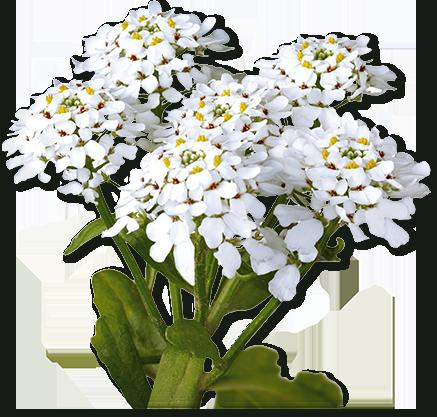 heilpflanzen_iberis-amara