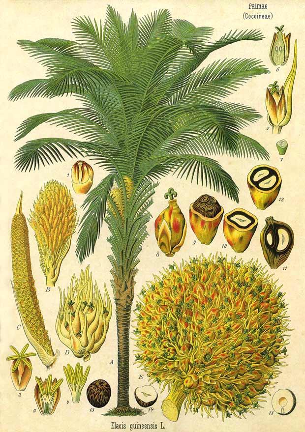 palmovoe maslo