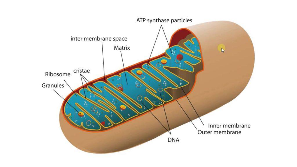 митохондрия2