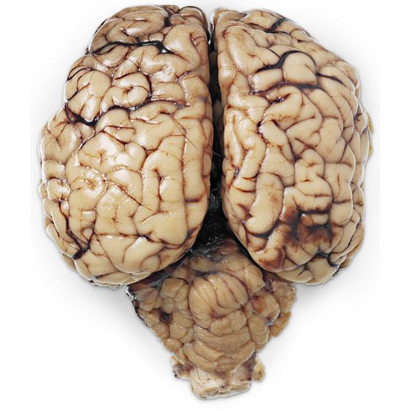 Мозг коровы