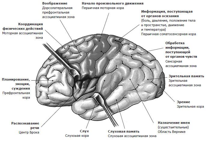Эмоциональная регуляция, принципы работы мозга. Как справляться со своим внутренним зверем