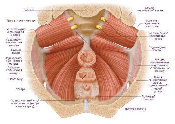 Тренировка мышцы малого таза при