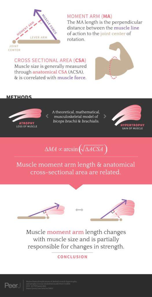 Как растут мышцы после тренировки: физиология процесса