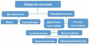 biologiya-40596-shema-stroeniya-nervnoy-sistemy.jpg
